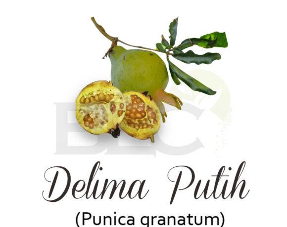 Delima Putih ( Pomegranate )